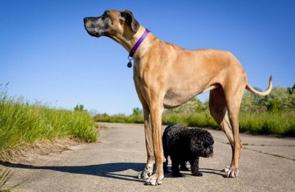 9 of the world's largest dog breeds