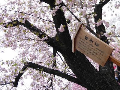 大阪造幣局 桜の通り抜け 楊貴妃