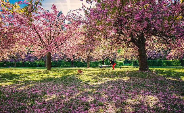 Từ Paris, hướng về phía Nam khoảng 10km là tới Sceaux – vùng ngoại ô đem đến một phong cảnh tuyệt đẹp vào mùa Xuân, nơi những cánh hoa anh đào nở rộ sẽ khiến bạn cảm thấy thanh lọc tâm hồn.