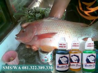 Essen Untuk Umpan Ikan Nila Babon