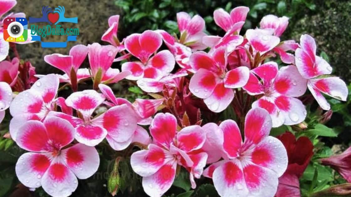 Bunga Geranium tanaman pengusir nyamuk alami