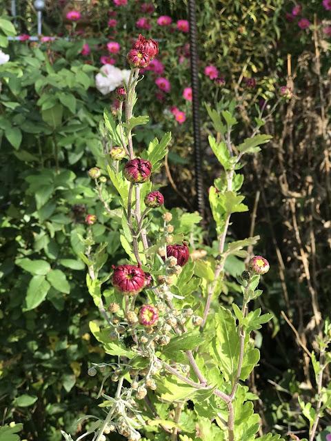 Schwabenstolz Herbstchrysantheme