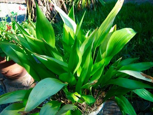 Aspidistra una de las mejores plantas de interior blog patricia l pez dise o floral - Plantas de interior grandes ...