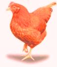 soal ttg perkembangbiakkan pada ayam
