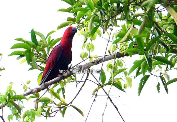 Raja Ampat Red Lory Parrot