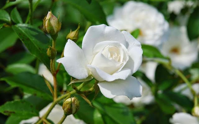 ý nghĩa hoa hồng trắng 3