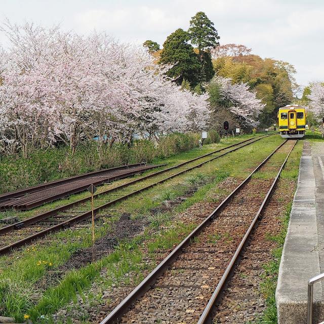 いすみ鉄道 国吉駅 桜