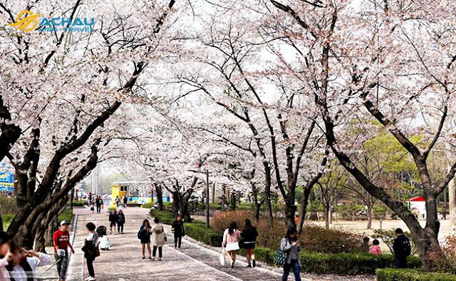 Du lịch Hàn Quốc ngay kẻo lỡ mùa hoa anh đào22