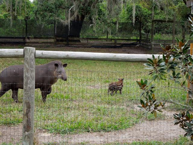 mama and baby tapir