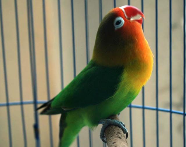 Lovebird Cepat Gacor Dan Ngekek Panjang