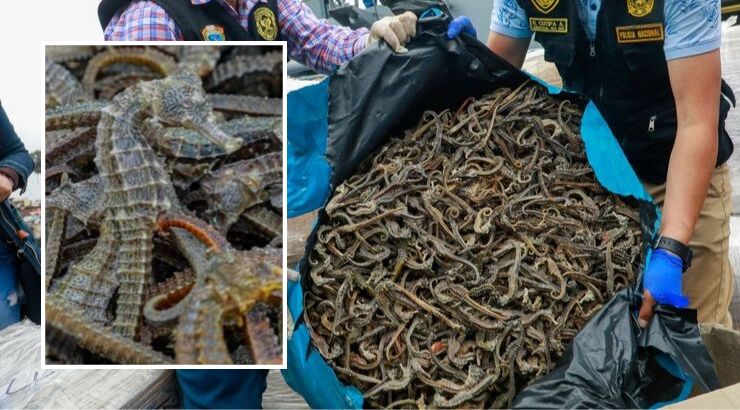 Authorities In Peru Captured A Ship Carrying Over 12.3 Million Illegally Caught Seahorses