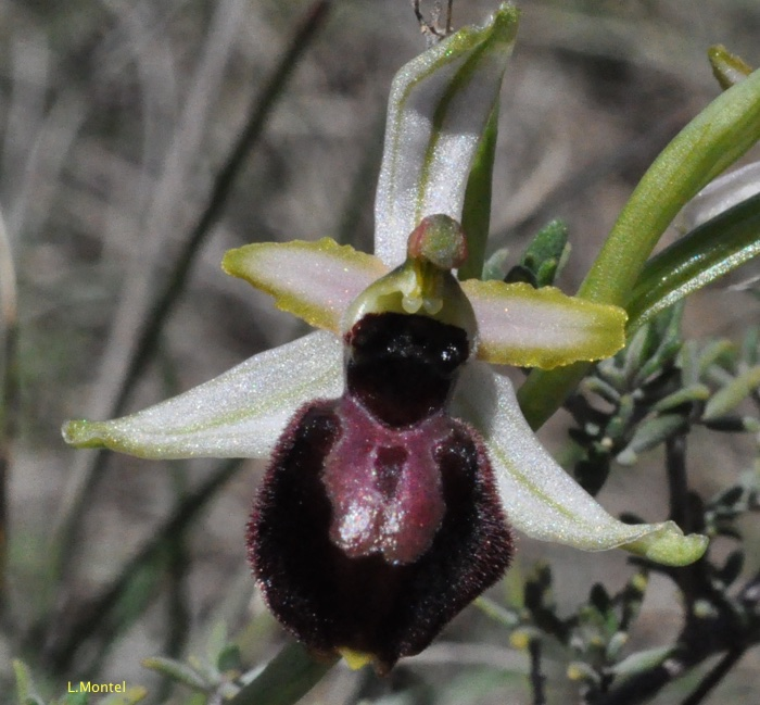 Ophrys occidental