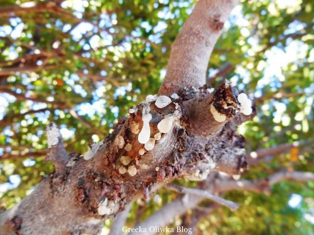 Płaczące drzewa czyli drzewa mastichowe, aromatyczne 'łzy' masichy