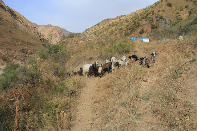 Tadjikistan, Haut-Badakhshan, Pamir, Tavildara, chèvres, © L. Gigout, 2012