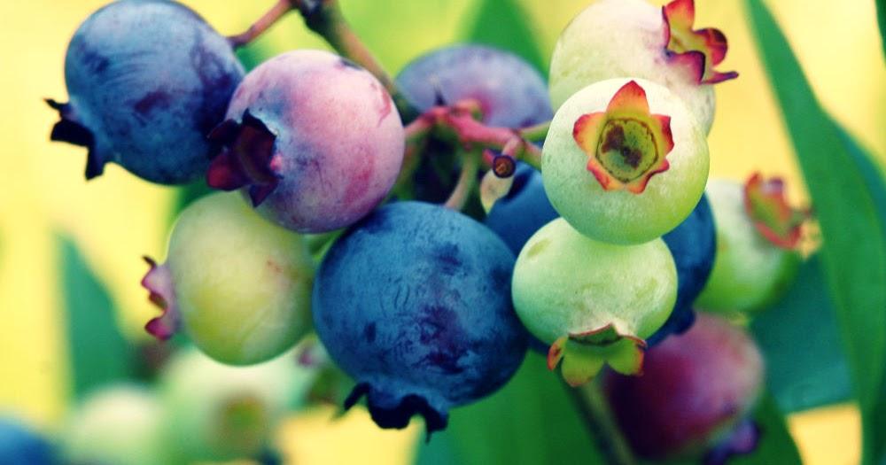 Manfaat Blueberry Untuk Diet Hingga Gangguan Fungsi Memori