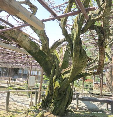 old wisteria vine, Japan