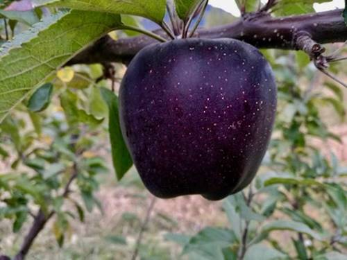 Unusual and unique variety of Chinese apples is sold only in limited quantities