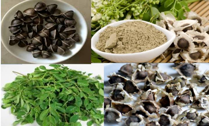 How To Export Moringa Seeds and Leaves From Nigeria (Step By Step)