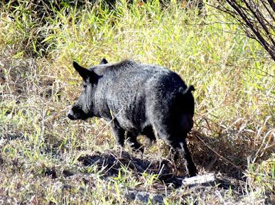 Wild boar, hog o Jabalí