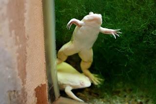 Xenopus laevis var. albino