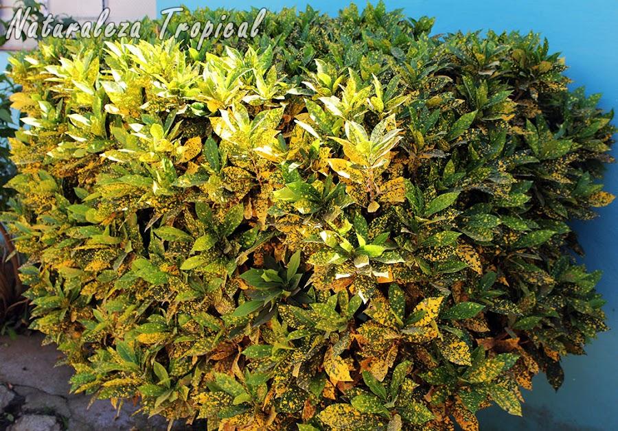 Arbusto conocido como croton, género Codiaeum
