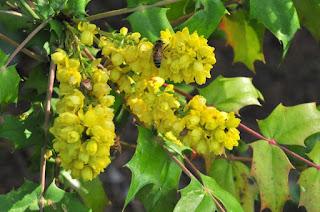 Bee-friendly mahonia