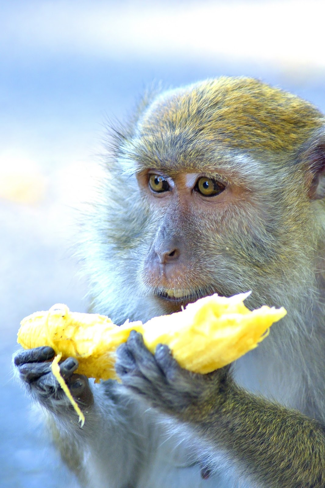 Picture of a western green monkey.