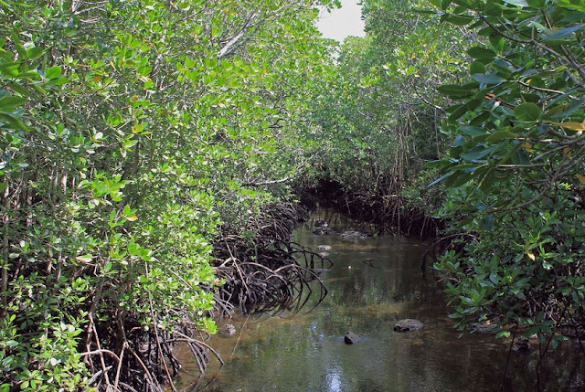 Buy Wall Art of Mangrove Forest