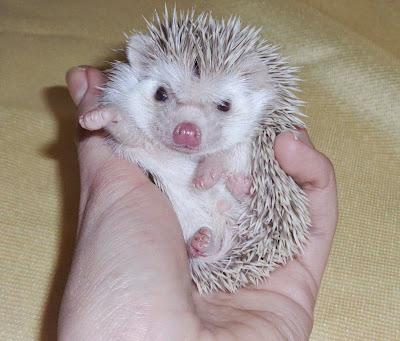 hodowla Igielnik, jeż pigmejski, jeże pigmejskie, atelerix albiventris, hedgehog,