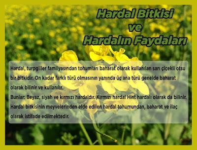 Hardal Bitkisi ve Hardalın Faydaları