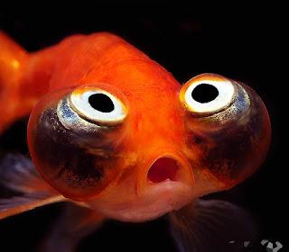 "Celestial Eye Goldfish ""ikan mas jepang penatap surga"""