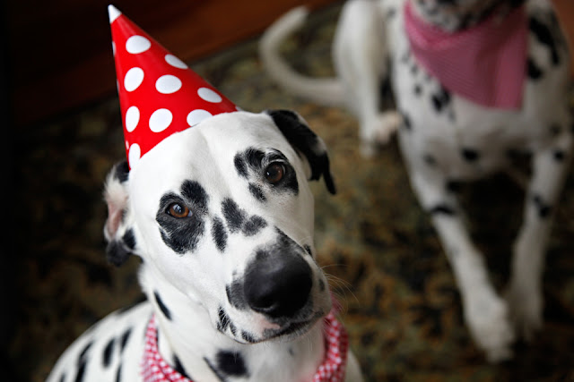 Dalmatian dog wearing polka dot party hat and red bandana