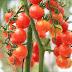 Tomat Cherry Sistem Hidroponik Beromzet 240 Juta Sekali Panen