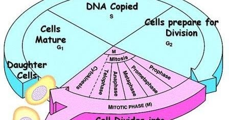 Multiple choice quiz on cell cycle mitosis and meiosis biology multiple choice quiz on cell cycle mitosis and meiosis biology multiple choice quizzes ccuart Choice Image