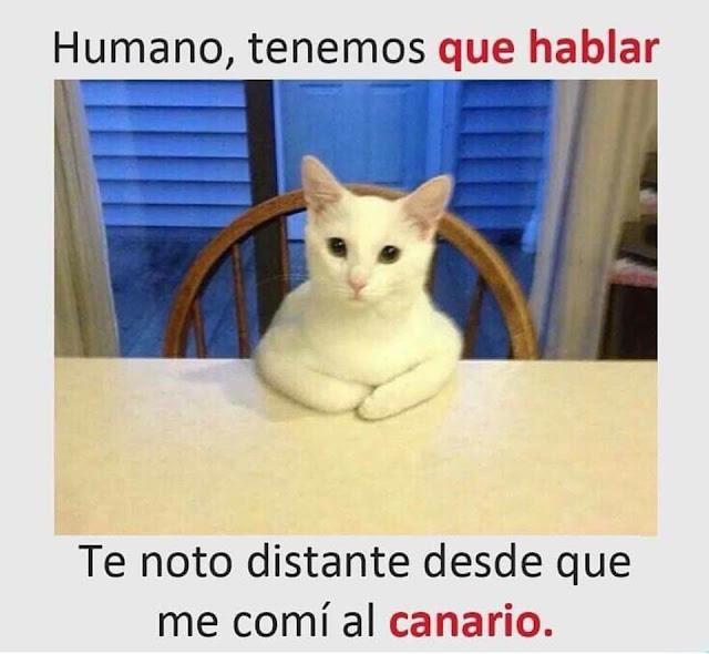 humor gatos que se comio al canario