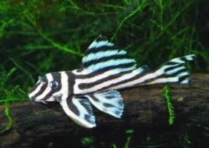 Ikan Sapu Sapu Zebra Pleco