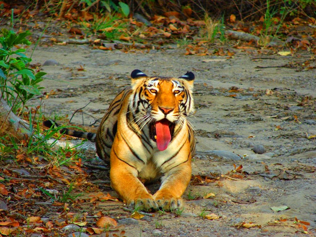 Royal Bengal Tiger at Periyar National Park