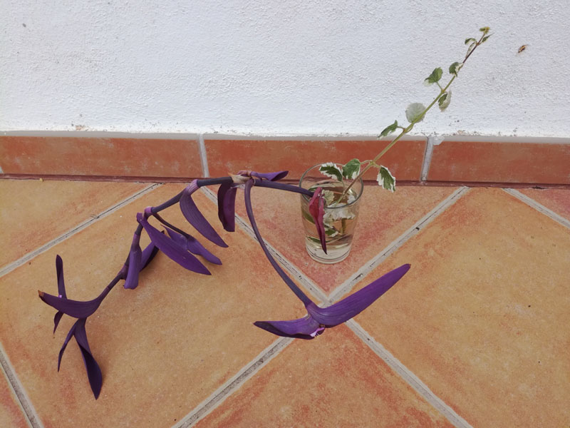 Tradescantia e pianta dell'incenso