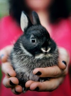Holding a Netherland Dwarf rabbit