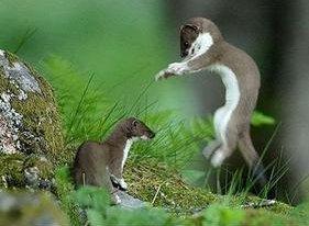Resultado de imagen para the stoat