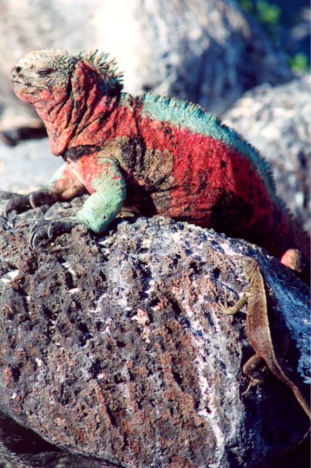 Marine Iguana Funny Picture Gallery Daily News