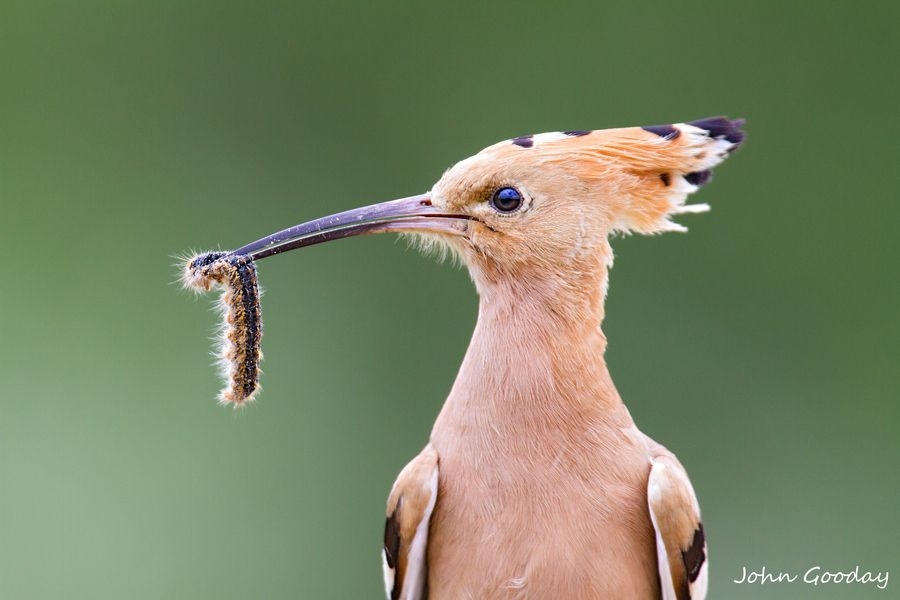Eurasian Hoopoe with Caterpillar