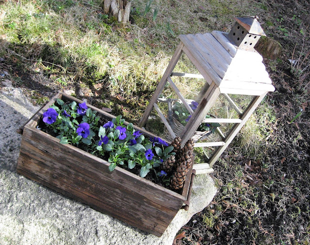 Ideer til blå vårblomster i rkukker - Fioler, stemor i en trekasse I