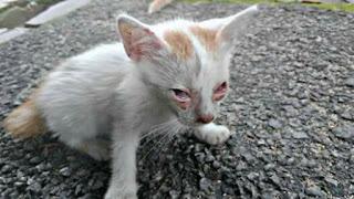Penyakit Mata Pada Kucing Kampung