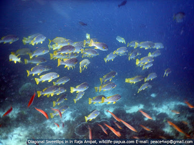 Sweetlips and reef fish in Raja Ampat