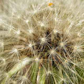 Extreme closeup image of a dandelion that has gone to seed