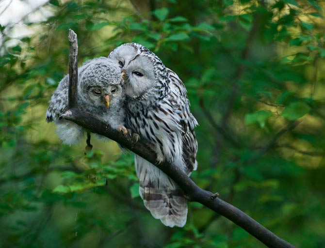 eilisain: Ural Owls of Estonia