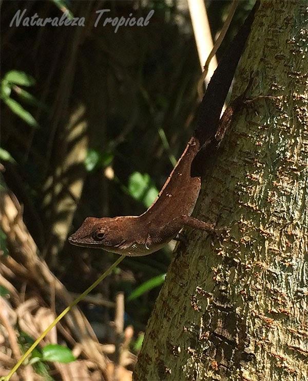 Fotografía de una especie de lagartija, Anolis homolechis