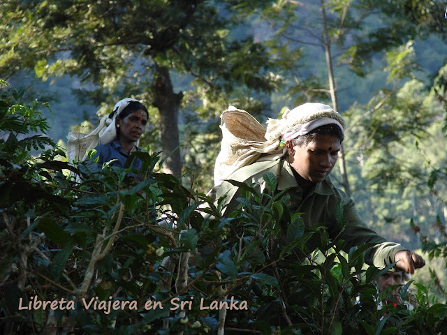 Tea Pluckers Sri Lanka