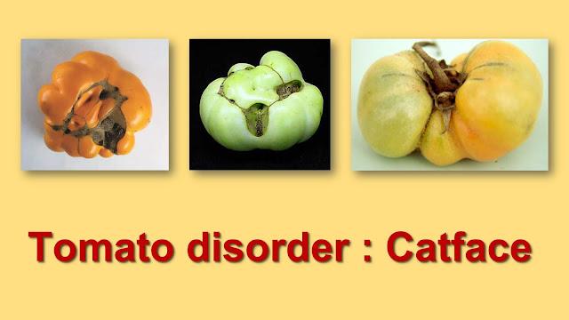Tomato disorder Catface